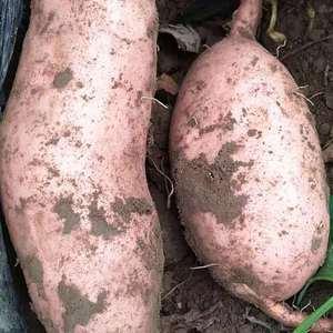 现有优质红薯,龙薯九号,大量上市,有需要的欢迎定购,13...