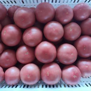 现在大量粉果西红柿上市需要的联系,13753994877...