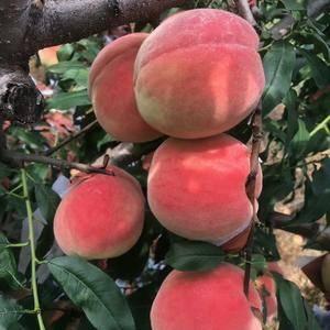 果实大,甜度高,每年7——10月份都有马山皇贡蜜桃出园,...