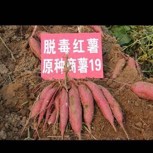 现有商薯19号红薯30亩,预计18-20万斤,马上出售,...