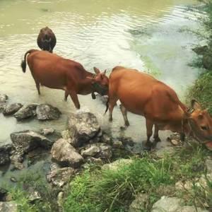 因爸爸身体原因,无法去山上放牛,家里放养了5头黄牛,3头...