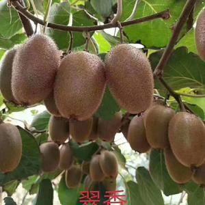周至翠香猕猴桃,口感超级棒