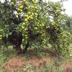 每年农历八月十五左右到农历十二月中旬有大亮的密橘上市。有...
