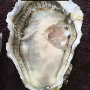 乳山生蚝牡蛎二倍体