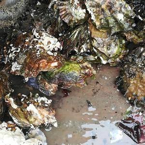 正宗乳山牡蛎,自家养殖自有货源