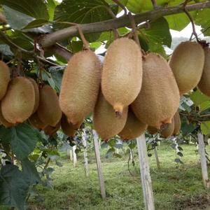 湘西绿心猕猴桃已经大量上市,我们都是地地道道的农民,实实...