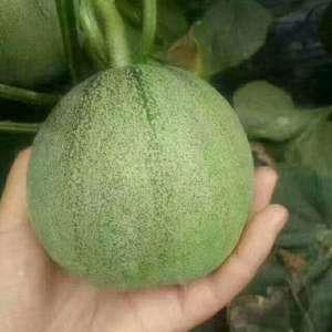 众鑫源果蔬合作社基地直供各种优质甜瓜,对接各大电商,超市...