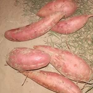 大量供应精品济薯26,西瓜红,龙薯9