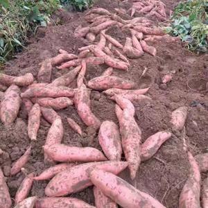 自家基地,大量供应中,【7两~1.5斤】烤薯块,【3~6...