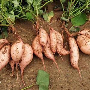 大量供应龙九红薯1000斤起