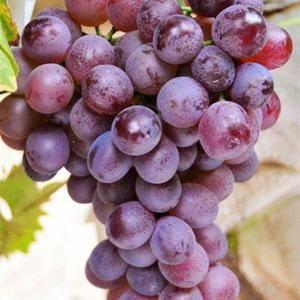 现有红提葡萄十余万斤,中秋节前成熟,有要者请联系电话13...
