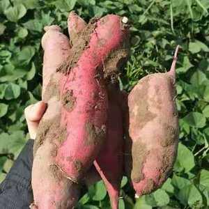 本人预出售大量红薯,品种为烟薯25和西瓜红,约4-5万斤...