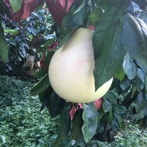 福建琯溪蜜柚大量上市