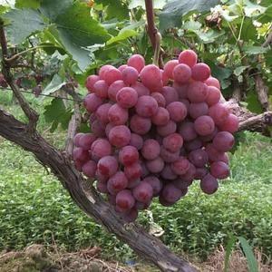 陕西高原红提葡萄大量上市,颗粒大,硬度好,甜度高,抓型紧...