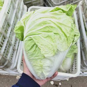 山东肥城蔬菜产区夏阳白菜上市供应中,我处多年种植经验,白...