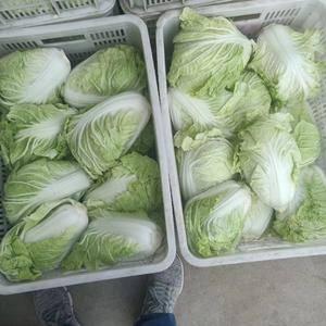 13031707440山东肥城@济南平阴蔬菜产区夏阳白菜...