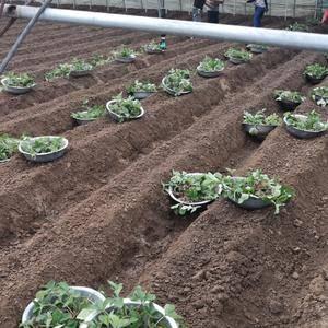主要现有甜宝草莓苗30来万颗,甜宝草莓十一月开始,章姬草...
