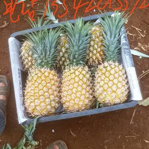 徐闻菠萝,要货的快来,天天有货。找到最好质量的菠萝才好赚...