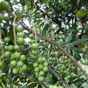 我们公司有上万亩澳洲坚果种植基地(夏威夷果)。大量销售坚...