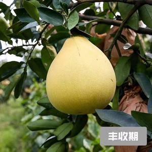 琯溪蜜柚 成长一点一滴看得到  从发芽到柚子成熟期...