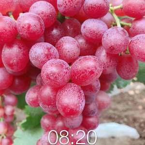 克轮生葡萄已陆续上市,有需要的客户抓紧联系