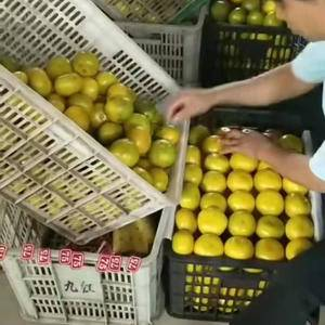湖北宜昌特早蜜桔产地大量批发,果型好,皮薄,果型好,货源...