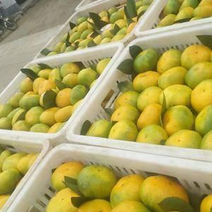 杭州市场售蜜桔,欢迎各地果商(农)前来视察,也可代卖及代...
