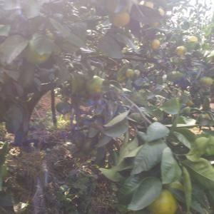 杭州市场长期接售桔子,脐橙等当季水果,电话1836886...
