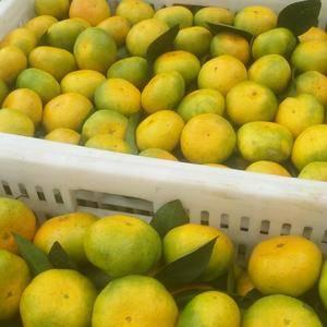 杭州市场代卖蜜桔,,可代发。 诚信电话:1836886...