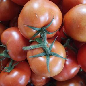 大量供应西红柿联系电话13396257709