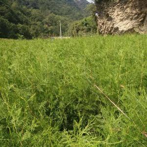 侧柏树苗销售(10万株),3年生移植苗,高80厘米~15...