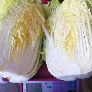 本基地属于海拔高冷地区 出产的是韩国黄心大白菜 中甘21...