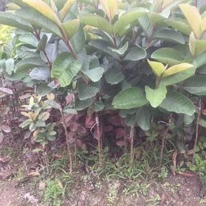 红宝石潘石榴、西瓜芭乐潘石榴、大量有苗