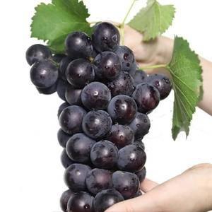 自家农园出产巨峰葡萄,表皮精致,多肉多汁,口感好,无农药...
