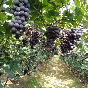 自家果园的辽南巨峰葡萄,口味纯正,粒串好,有意者联系我1...