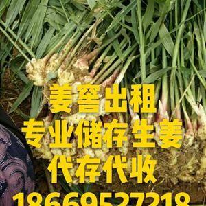 山东生姜产地批发,大量出售面姜,小黄姜,有需要请联系18...