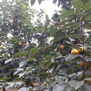 本地有万亩阳丰甜柿,需要的客商请联系我150359361...
