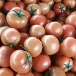 7845大红西红柿,价格便宜,有意者咨询电话:15965...