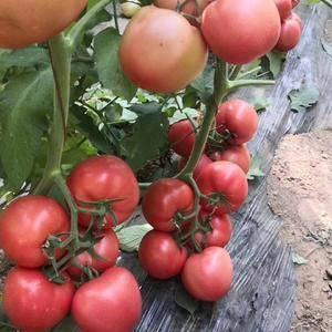 山东豪达农业科技有限公司常年供应进口西红柿种子及种苗!...