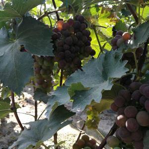 巨峰葡萄种植基地,紧邻105国道,交通便利,欢迎来购