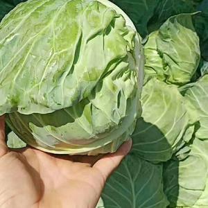河北邯郸永年蔬菜物流园 现有大量甘蓝。等共有四十多种蔬菜...