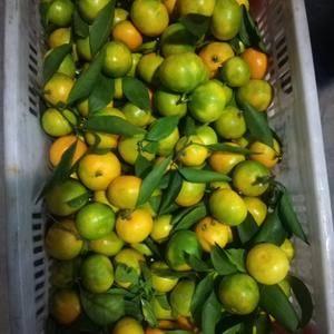 宜昌特早蜜桔产地直销,果园看货,以质量定价格