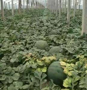 山东潍坊昌乐无籽西瓜大量上市了,需要的客户电微同号156...