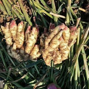 山东优质鲜姜大量上市,黄姜,小黄姜,大面姜产地大量供应1...
