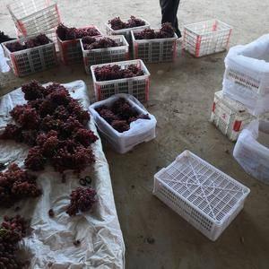 克轮生葡萄大量上市