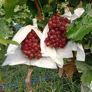 红宝石葡萄供应