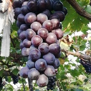 辽宁地区的自己家种的辽峰葡萄 串大 颗粒饱满 紧凑 无籽...