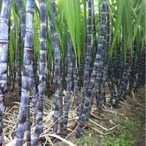 黑皮甘蔗大量上市