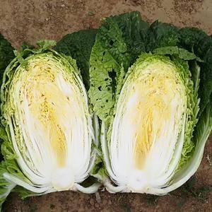 辽宁凌海黄心白菜现在大面积上市欢迎全国各地的客商前来选购