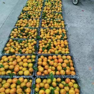 湖北特早蜜桔产地直销,果园看货,以质量定价格!
